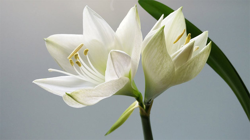flowers ดอกกุหลาบ ดอกไม้ ภาษาดอกไม้